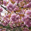 近所の公園【長津田第3公園:里桜(たぶん関山)】5