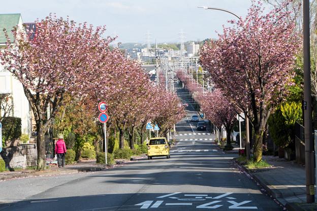 近所へ散歩【サトザクラ通り】1