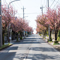 近所へ散歩【サトザクラ通り】2
