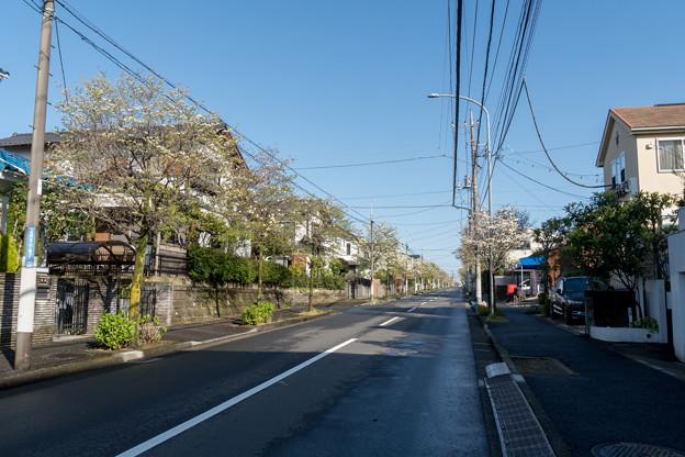 近所へ散歩【ハナミズキ通り】1