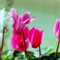 庭の花【シクラメン】銀塩
