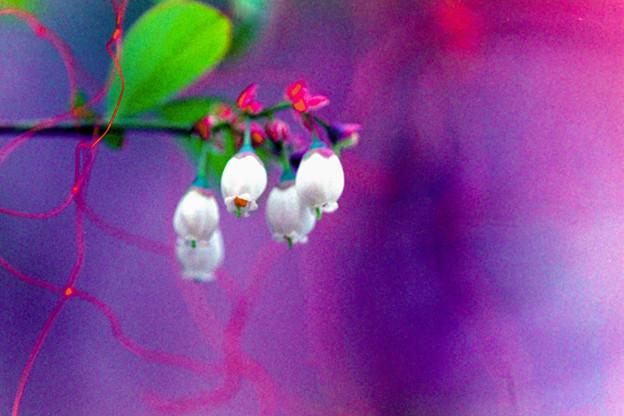 庭の花【鳥よけネットに守られたブルーベリー】銀塩
