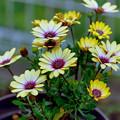 庭の花【オステオスペルマム:ブルーアイビューティー】銀塩