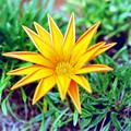 庭の花【ガザニア】銀塩