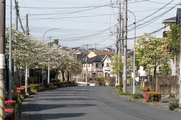 早朝ウォーキング【ハナミズキ街路】1