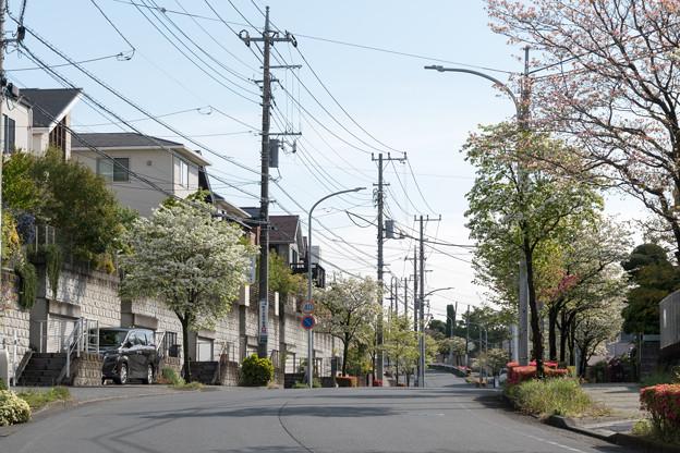 早朝ウォーキング【ハナミズキ街路】3