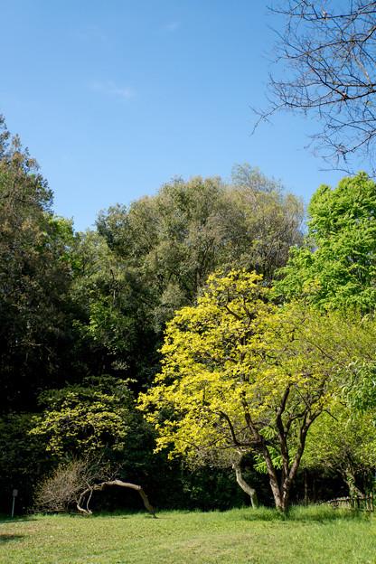早朝ウォーキング【鴨池公園かきのき広場:黄色鮮やかな木】1