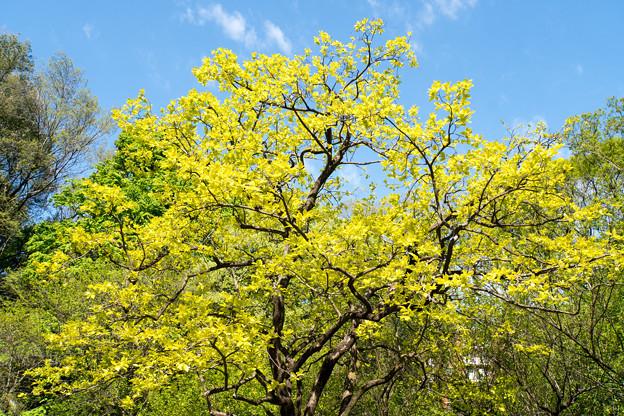 早朝ウォーキング【鴨池公園かきのき広場:黄色鮮やかな木】2