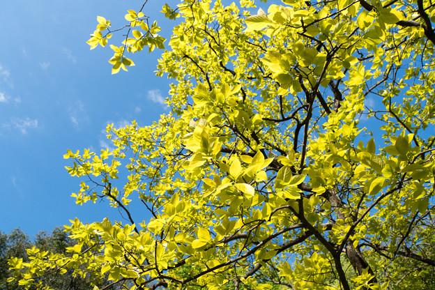 早朝ウォーキング【鴨池公園かきのき広場:黄色鮮やかな木】3