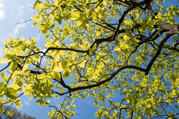 早朝ウォーキング【鴨池公園かきのき広場:黄色鮮やかな木】4