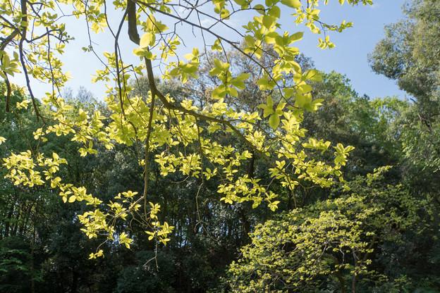 早朝ウォーキング【鴨池公園かきのき広場:黄色鮮やかな木】5