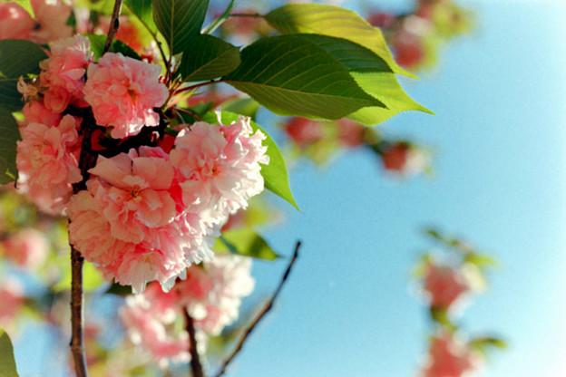 早朝ウォーキング【大塚・歳勝土遺跡公園:サトザクラ】2銀塩