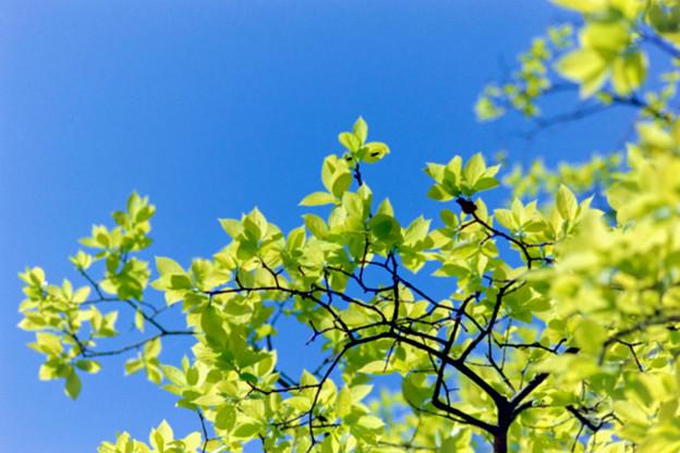 早朝ウォーキング【鴨池公園かきのき広場:黄色鮮やかな木】3銀塩
