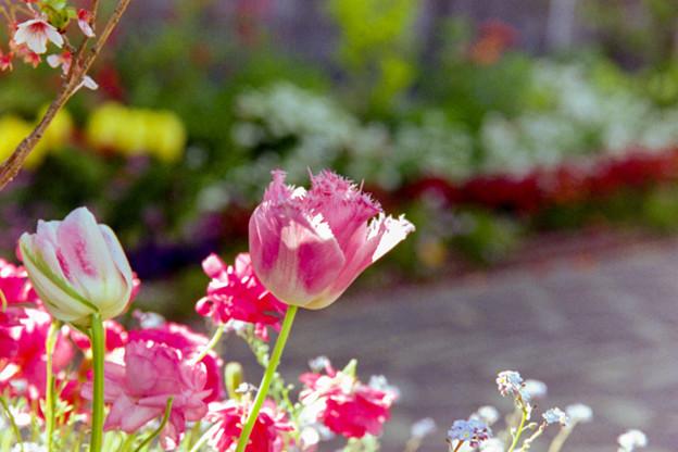 早朝ウォーキング【えだきん商店街:花壇のチューリップ】1銀塩