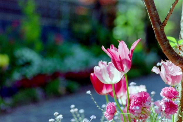 早朝ウォーキング【えだきん商店街:花壇のチューリップ】2銀塩