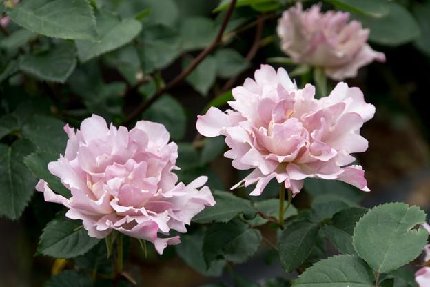 江古田太陽公園【春バラ:クチュールローズ・チリア】