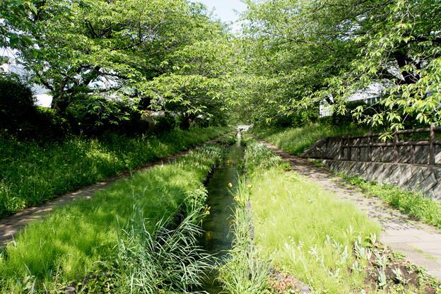 早朝ウォーキング【江川せせらぎ緑道:両サイドは桜の木】