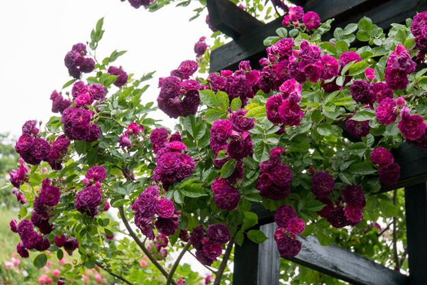 Photos: 荏子田太陽公園【春バラ:ブルー・マジェンタ】