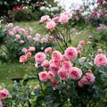 Photos: 荏子田太陽公園【春バラ:セクシー・レキシー】1