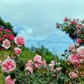荏子田太陽公園【春バラ:ホーム&ガーデン】銀塩