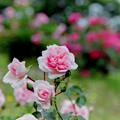 荏子田太陽公園【春バラ:ホーム&ガーデン】2銀塩
