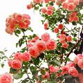 荏子田太陽公園【春バラ:コンテス・ドゥ・セギュール】銀塩