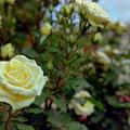 Photos: 荏子田太陽公園【春バラ:シンプリー・ヘブン】銀塩