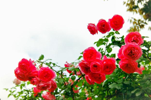 荏子田太陽公園【春バラ:つる・パレード】銀塩