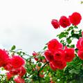 Photos: 荏子田太陽公園【春バラ:つる・パレード】銀塩