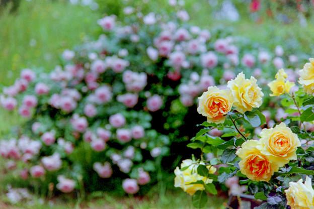 荏子田太陽公園【春バラ:ユリイカ】銀塩