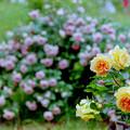 Photos: 荏子田太陽公園【春バラ:ユリイカ】銀塩