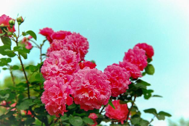 荏子田太陽公園【春バラ:マルキーズ・ドゥ・メルトイユ】銀塩