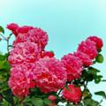Photos: 荏子田太陽公園【春バラ:マルキーズ・ドゥ・メルトイユ】銀塩