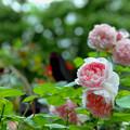 荏子田太陽公園【春バラ:ラベンダー・ラッシー】銀塩