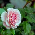 荏子田太陽公園【春バラ:セクシー・レキシー】銀塩