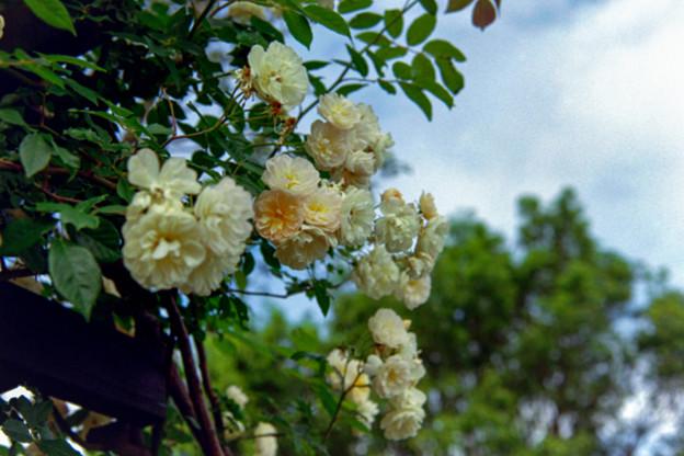 荏子田太陽公園【春バラ:トレジャー・トローブ】銀塩