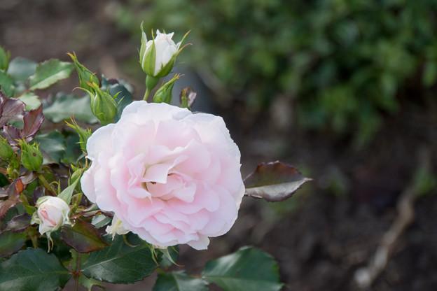 都筑中央公園近辺【春バラ:ローザ・つづきく】