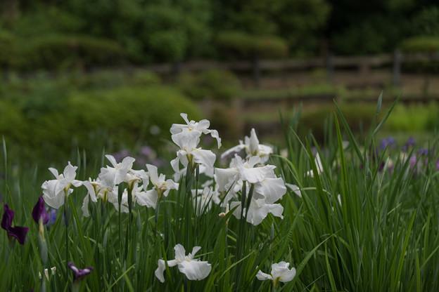 薬師池公園【花菖蒲(白系)】1
