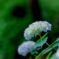 薬師池公園【紫陽花(西洋アジサイ)】2銀塩