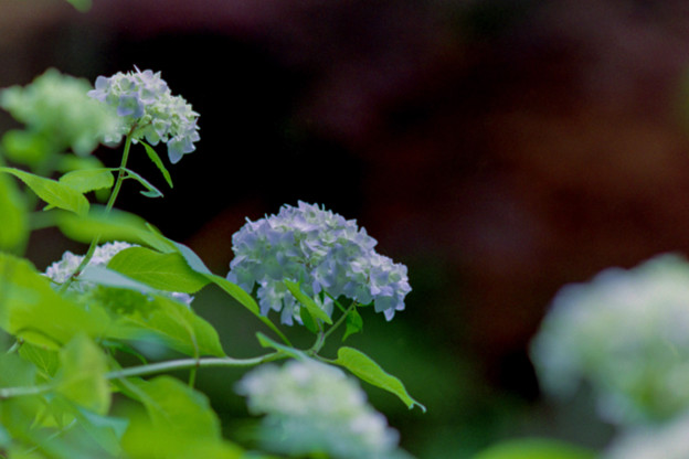 Photos: 薬師池公園【紫陽花(西洋アジサイ)】3銀塩