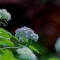 薬師池公園【紫陽花(西洋アジサイ)】3銀塩