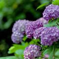 薬師池公園【紫陽花(西洋アジサイ)】4銀塩
