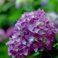 薬師池公園【紫陽花(西洋アジサイ)】5銀塩