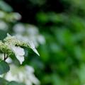 薬師池公園【紫陽花(白花ヤマアジサイ)】銀塩