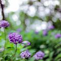 生田緑地【あじさい山の紫陽花】3銀塩