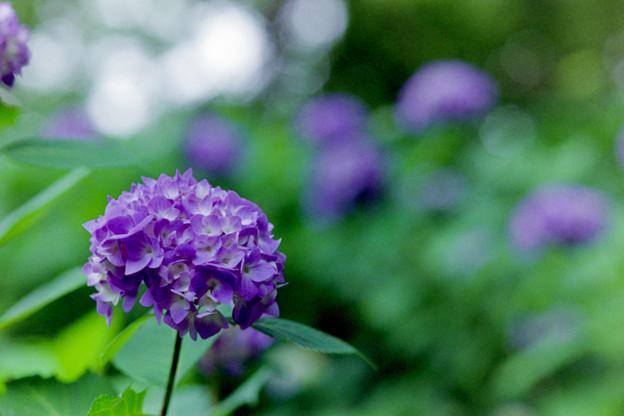 生田緑地【あじさい山の紫陽花】5銀塩