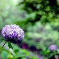 生田緑地【あじさい山の紫陽花】6銀塩