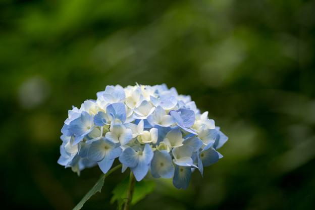 生田緑地【あじさい山の紫陽花】7