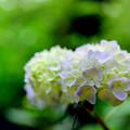 生田緑地【あじさい山の紫陽花】8銀塩