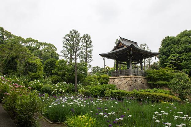 正覚寺【鐘楼と花菖蒲】1
